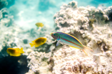 A colorful fish on the background of corals in the waters of the Red Sea in Egypt.