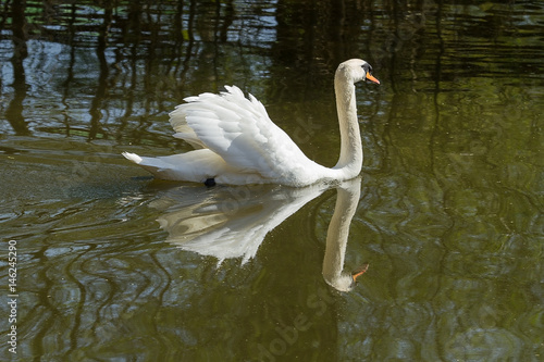 Fotobehang photo of a male Mute swan swimming this his reflection in the water