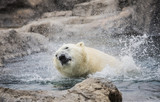 Polar bear shaking water everywhere
