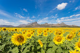 Sunflower fields bloom in the middle of the valley and blue sky.