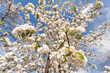 Apple trees blossoms in spring