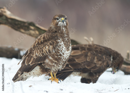 Poster  Common Buzzards (Buteo buteo)