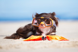 funny chihuahua dog in a snorkel glasses on a beach - 146272469