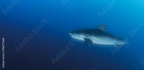 Tiger Shark Poster