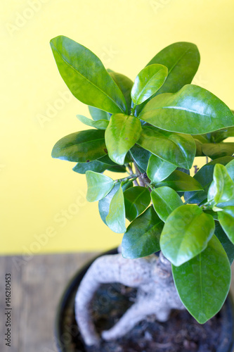 Ficus ginseng on a yellow background