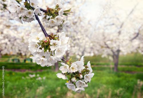 Kirschblüte im Alten Land bei Jork in der Elbmarsch Poster