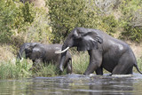 Two African elephants emerge from the water of the Nile to the shore
