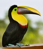Toucan Perched on a Fence 5 - 146292877