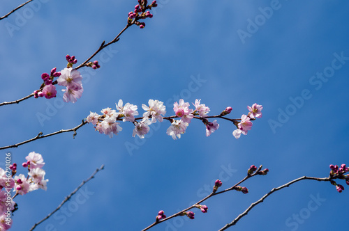 Pink cherry blossoms with blue sky Poster