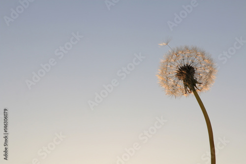 dandelion seeds on sunrise