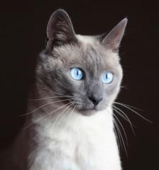 Cat portrait in studio
