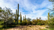 Group of Saguaru cactuses standing in a circle among desert shrubs in the winter desert landscape of Tonto National Forest in Maricopa County, Arizona in the United States of America