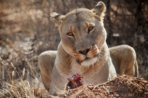 Lioness, Naankuse, Namibia Poster