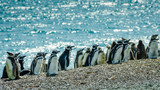 Young Magellanic penguins in the various state of molting sit on the shores of the Atlantic Ocean off the coast of Patagonia in Argentina. - 146498613