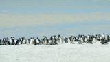 Hundreds of Magellanic penguins make their home at Gypsy Cove, in the Falkland Islands.  - 146508004