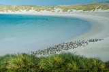 Hundreds of Magellanic penguins make their home at Gypsy Cove, in the Falkland Islands.  - 146509280