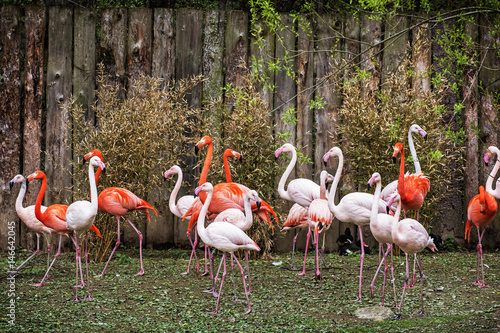 Colony of flamingos, animal scene