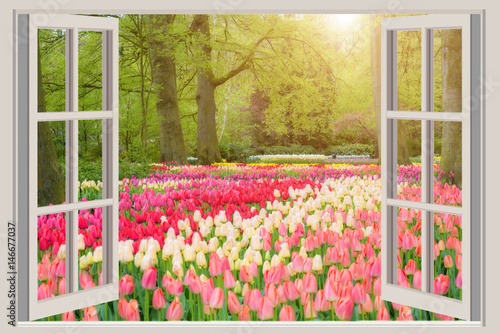 Window with beautiful spring tulips flowers garden in Netherlands. - 146677037
