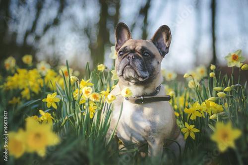 Staande foto Franse bulldog Hund sitzt in Blumen