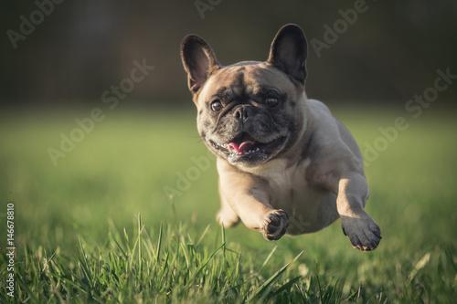 Aluminium Franse bulldog Hund im Sprung