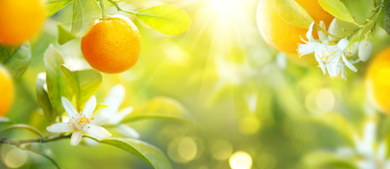 Ripe oranges or tangerines hanging on a tree. Healthy organic juicy fruits growing in sunny orchard