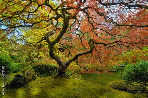 Obraz The Japanese Maple Tree in Spring