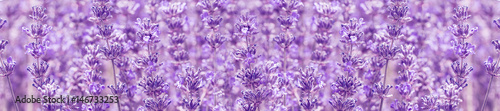 Papiers peints Lavande panorama field lavender summer