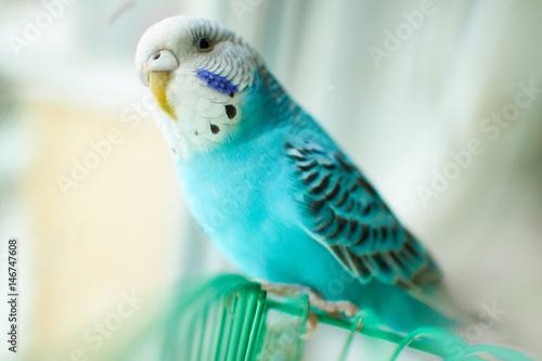 Fototapeta Wavy blue parrot