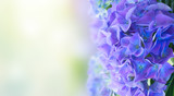 fresh blue hortensia flowers in green garden banner