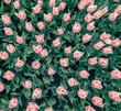 tulips flowers pattern - 146794849