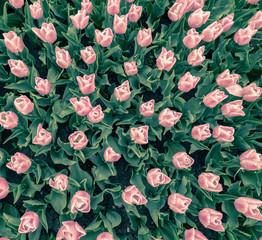 tulips flowers pattern