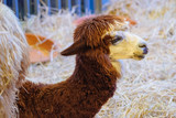 brown alpaca sitting on the straw