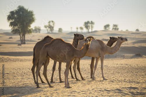Desert landscape with camel Poster