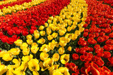 Composition and curves of beautifully colored tulips