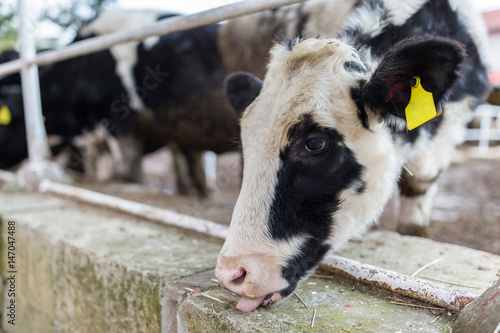 Cow in farm Poster