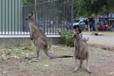 Kangaroos with joey in park