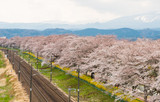 Railroad track.l with a row of cherry trees along the Shiroishi river at funaoaka Sendai, Japan with mountain background.