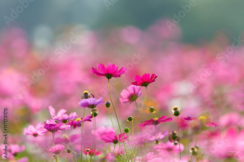 Fotobehang Candy roze Cosmos flower meadows,Cosmos,flowers cosmos of Singha Park Chiang Rai,Chiang Rai, Thailand.