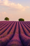 Lavender field at sunset, nature vertical background, Provence, Plateau de Valensole, France