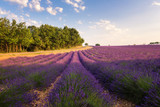 Provence rural landscape with blooming lavender field in sunlight, Plateau de Valensole, France