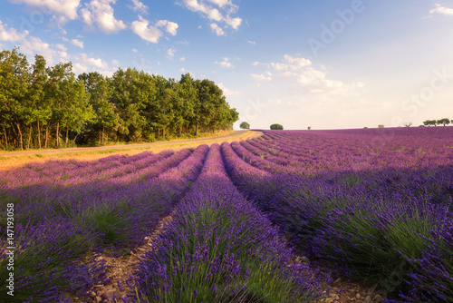 Keuken foto achterwand Crimson Provence rural landscape with blooming lavender field in sunlight, Plateau de Valensole, France