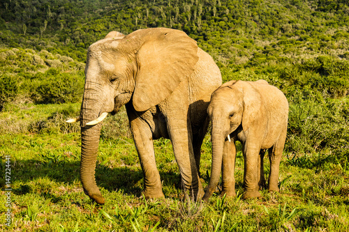Elephant adult and baby Poster