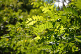 acacia leaves in the sun