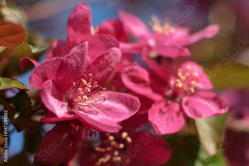 Papiers peints Azalea Apple trees blooming in bright pink flowers