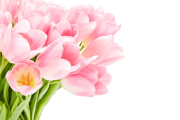 Pink tulips isolated over white background