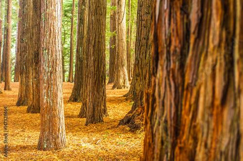 Poster Landschappen redwood forest, sequioa trees