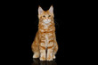 Young Ginger Maine Coon Cat Sitting Looking in Camera Isolated on Black Background, Front view