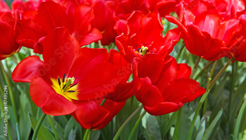 red-tulips-background