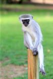 koczkodan (Vervet Monkey, Chlorocebus pygerythrus) w parku narodowym Augrabies