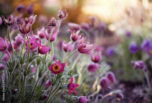 Kwitnące Sasanki - 147518849